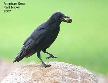 American Crow (Corvus brachyrhynchos) by Kent Nickell