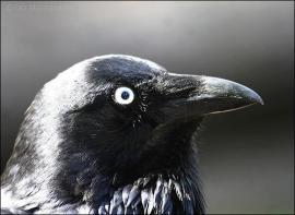 Australian Raven (Corvus coronoides) by Ian