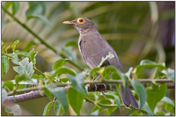 Bare-eyed Thrush (Turdus tephronotus) by Daves BirdingPix