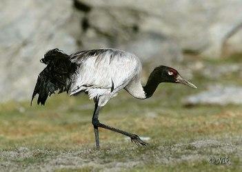 Black-necked Crane (Grus nigricollis) by Nikhil Devasar