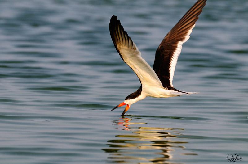 Black Skimmer (Rynchops niger) by Quy Tran