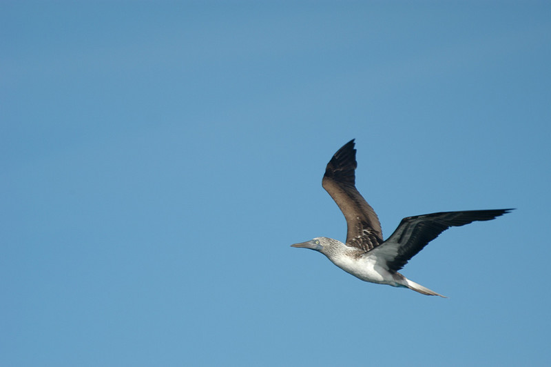 Blue-footed Booby (Sula nebouxii) by Bob-Nan