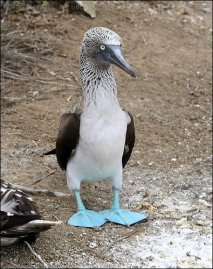 Blue-footed Booby (Sula nebouxii) by Ian