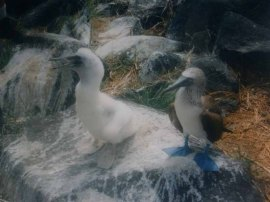 Blue-footed Booby (Sula nebouxii) larger chick by Bob-Nan