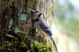 Blue Jay (Cyanocitta cristata) at Bok Tower By Dan'sPix