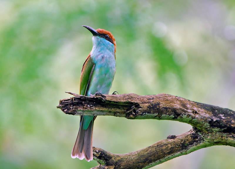 Blue-throatedBee-eater (Merops viridis) by Ray