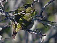 Orange River White-eye (Zosterops pallidus) by Ian