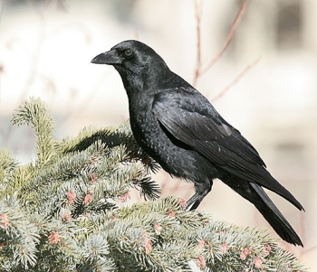 Chihuahuan Raven (Corvus cryptoleucus)Raven (Corvus corax) by Kent Nickell