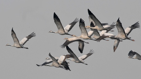 Common Crane (Grus grus) by Nikhil Devasar