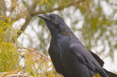 Fish Crow (Corvus ossifragus) at Lake Morton By Dan'sPix