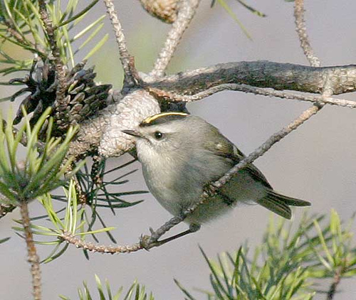 Golden-crowned Kinglet (Regulus satrapa) by Kent Nickell
