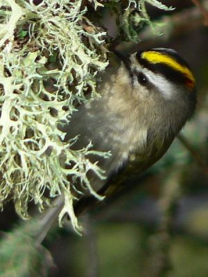 Golden-crowned Kinglet (Regulus satrapa) ©Wiki