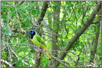 Green Jay (cyanocorax luxuosus) by DavesBP