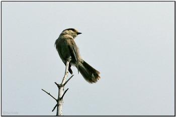 Grey Jay (Perisoreus canadensis) by Daves BirdingPix