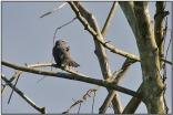 Greyish Saltator (Saltator coerulescens) by Daves BirdingPix