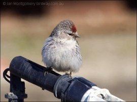 Hoary Redpoll (Carduelis hornemanni) by Ian