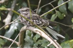 Ladder-tailed Nightjar (Hydropsalis climacocerca) ©AGrosset