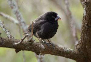 Medium Ground Finch (Geospiza fortis) by ©Wiki