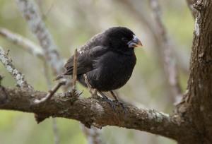 Medium Ground Finch (Geospiza fortis) by ©Wiki