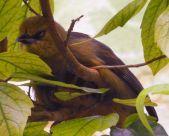 Montserrat Oriole (Icterus oberi) by Wiki female Zoo Frankfurt