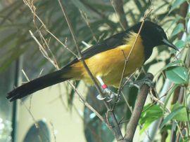 Montserrat Oriole (Icterus oberi) by Wiki