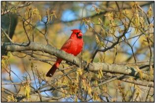 Northern Cardinal (Cardinalis cardinalis) by Daves BirdingPix