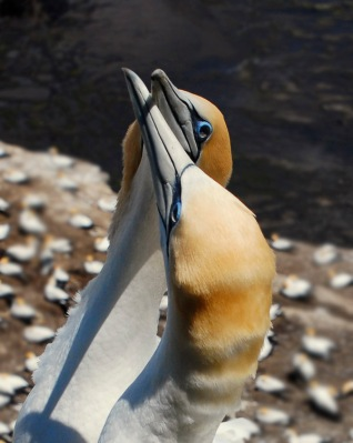 Northern Gannet (Morus bassanus) by W Kwong