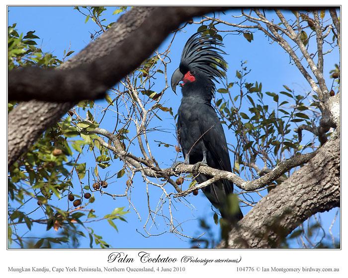 Palm Cockatoo (Probosciger aterrimus) by Ian