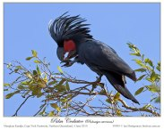 Palm Cockatoo (Probosciger aterrimus) by Ian