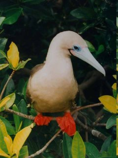 Red-footed Booby (Sula sula) by Bob-Nan