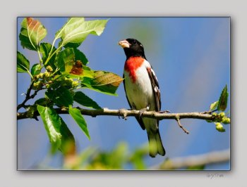 Rose-breasted Grosbeak (Pheucticus ludovicianus) by Quy Tran