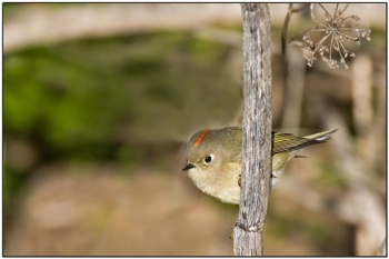 Ruby-crowned Kinglet (Regulus calendula) by BirdingPix