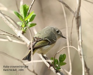 Ruby-crowned Kinglet (Regulus calendula) by Kent Nickell