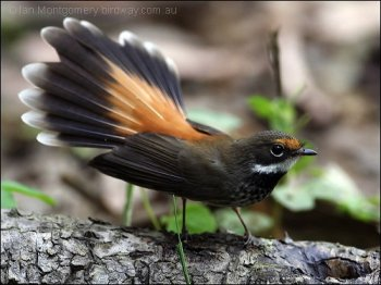 Rufous Fantail by Ian