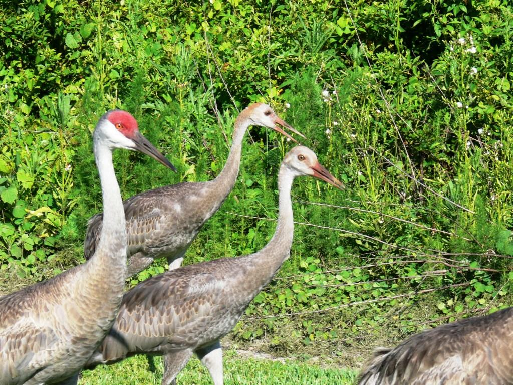 Sandhill Crane (Grus canadensis) with 2 juveniles by Lee
