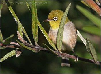 Silvereye (Zosterops lateralis) by Ian