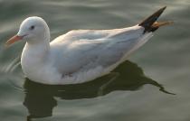 Slender-billed Gull (Chroicocephalus genei) by Nikhil Devasar