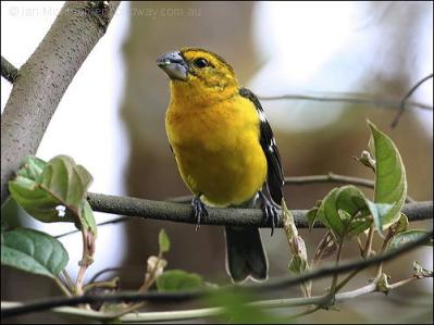 Golden Grosbeak (Pheucticus chrysogaster) by Ian
