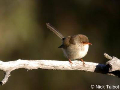 Superb Fairy-wren (Malurus cyaneus) Female by Nick Talbot