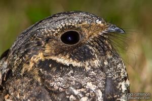 Whip-poor-will (Caprimulgus vociferus) by BirdsInFocus