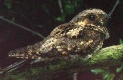 Whip-poor-will (Caprimulgus vociferus) ©RonAusting