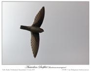 White-rumped Swiftlet (Aerodramus spodiopygius) by Ian Montgomery
