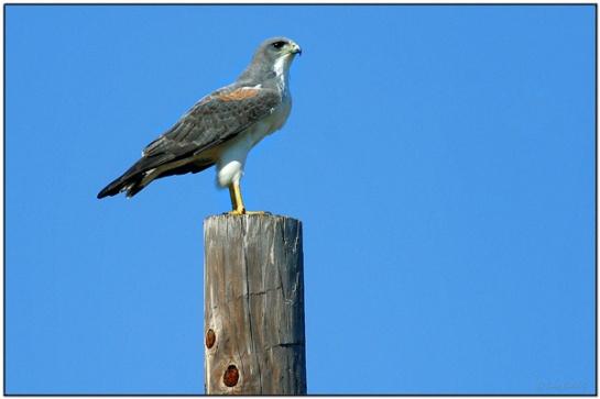 White-tailed Hawk (Buteo albicaudatus) by Daves BirdingPix