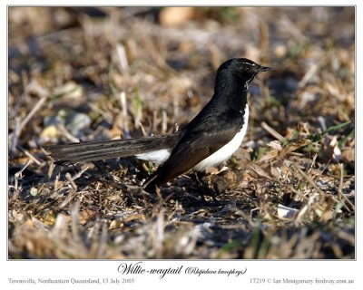 Willie Wagtail (Rhipidura leucophrys) on Wallaby by Ian Montgomery