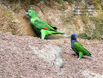 Yellow-crowned Amazon, Blue-headed Parrot by Kent Nickell