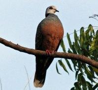 Adamawa Turtle Dove (Streptopelia hypopyrrha) ©WikiC