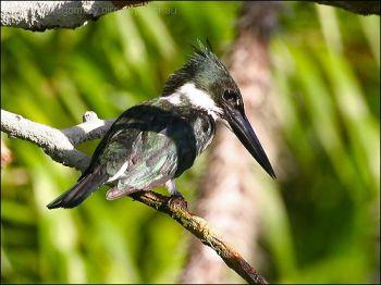 Amazon Kingfisher (Chloroceryle amazona) by Ian