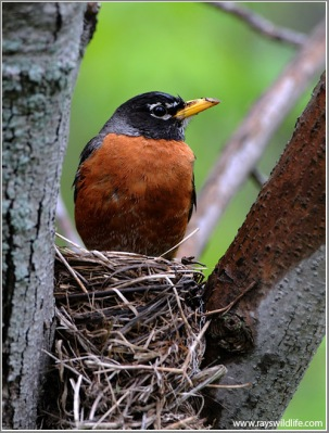 American Robin (Turdus migratorius) in nest by Ray