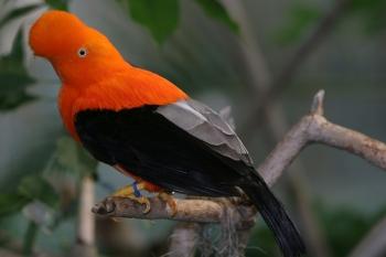 Andean Cock-of-the-rock (Rupicola peruvianus) by SanDiegoZoo