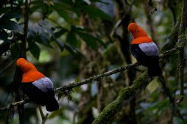 Andean Cock-of-the-rock (Rupicola peruvianus) by Wiki